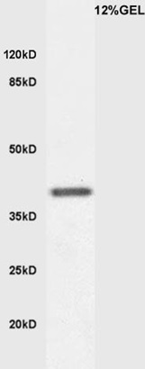 Mouse embryo lysates probed with Anti KLF2 Polyclonal Antibody, Unconjugated (bs-2772R) at 1:200 overnight at 4˚C. Followed by conjugation to secondary antibody (bs-0295G-HRP) at 1:3000 for 90 min at 37˚C.