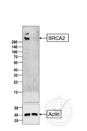 Image provided by the Independent Validation Program badge 29807.\\n\\nLane 1: MCF7 cell lysate Lane 2:CAPAN1 cell lysates probed with Rabbit Anti-BRCA2 Polyclonal Antibody, Unconjugated (bs-1210R) at 1:200 for 10 hours at 4\u02daC. Followed by conjugation to secondary antibody at 1:10000 for 60 min at 37\u02daC.
