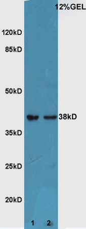 Lane 1:Mouse embryo lysate Lane 2:Mouse eye lysate probed with Rabbit Anti-ATF4\/CREB-2 Polyclonal Antibody, Unconjugated (bs-1531R) at 1:300 overnight at 4\u02daC. Followed by conjugation to secondary antibody (bs-0295G-HRP) at 1:5000 for 90 min at 37\u02daC.