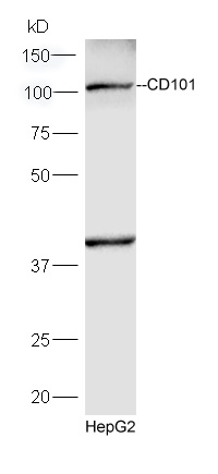 HepG2 lysates probed with Rabbit Anti-CD101 Polyclonal Antibody, Unconjugated (bs-10727R) at 1:300 overnight at 4\u02daC. Followed by conjugation to secondary antibody (bs-0295G-HRP) at 1:5000 for 90 min at 37\u02daC.