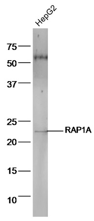 HepG2 cell lysates probed with Anti-RAP1A Polyclonal Antibody, Unconjugated (bs-1504R) at 1:300 in 4˚C. Followed by conjugation to secondary antibody (bs-0295G-HRP) at 1:5000 90min in 37˚C