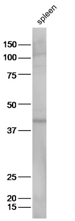 Mouse spleen lysates probed with Anti-Prostaglandin E Receptor EP2 Polyclonal Antibody, Unconjugated (bs-4196R) at 1:300 in 4˚C. Followed by conjugation to secondary antibody (bs-0295G-HRP) at 1:5000 90min in 37˚C.