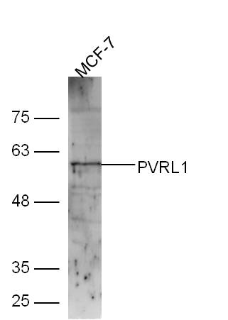 Lane 1: MCF-7 lysates probed with Rabbit Anti-Nectin1\/CD111 Polyclonal Antibody, Unconjugated (bs-11126R) at 1:300 overnight at 4\u02daC. Followed by conjugation to secondary antibody (bs-0295G-HRP) at 1:5000 for 90 min at 37\u02daC.