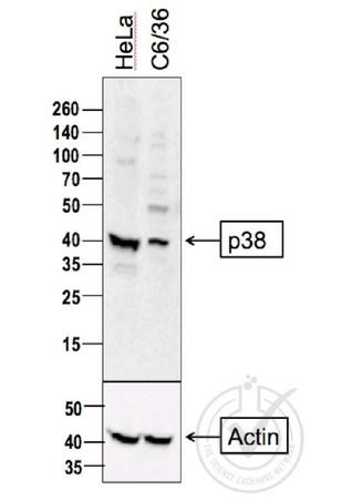 Independently Validated Antibody, image provided by Science Exchange, badge number 029806: L1 HeLa cell lysate, L2 C6/36 cell lysates probed with Anti-P38 MAPK Polyclonal Antibody, Unconjugated (bs-0637R) at 1:500 overnight at 4˚C. Followed by conjugation to secondary antibody at 1:100000 for 90 min at 37˚C. Predicted band 41kDa. A strong band was observed in the positive control sample at the correct molecular weight.