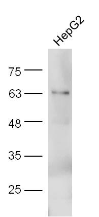 HepG2 lysate probed with Anti-Adiponectin Polyclonal Antibody (bs-0471R) at 1:300 overnight in 4\u02daC. Followed by conjugation to the secondary antibody (bs-0295G-HRP) at 1:5000 90min in 37\u02daC.