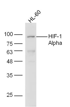 HL-60 cell lysates probed with Anti-HIF-1 Alpha Polyclonal Antibody, Unconjugated (bs-0737R) at 1:300 overnight at 4\u02daC. Followed by conjugation to secondary antibody (bs-0295G-HRP) at 1:5000 for 90 min at 37\u02daC.