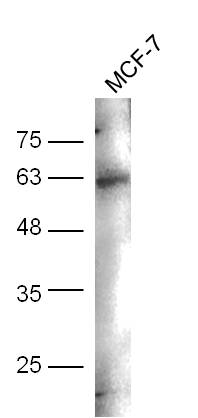 MCF-7 cell lysates probed with Anti-CD244(Tyr271) Polyclonal Antibody, Unconjugated (bs-5284R) at 1:300 overnight at 4\u02daC. Followed by conjugation to secondary antibody (bs-0295G-HRP) at 1:5000 for 90 min at 37\u02daC.